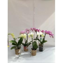 ORCHIDEA PHALAENOPSIS MINI V.9