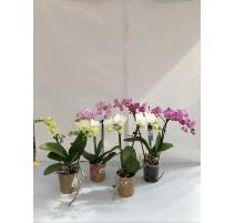 ORCHIDEA PHALAENOPSIS V.9