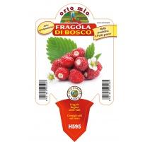 FRAGOLA DI BOSCO H595