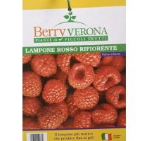 LAMPONE ROSSO RIFIORENTE V. CM 20